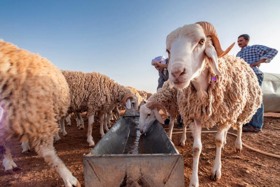 A la rencontre d'un éleveur ovin de la région de Djelfa